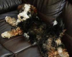 Bernedoodle Info, Temperament, Training, Diet, Puppies, Pictures