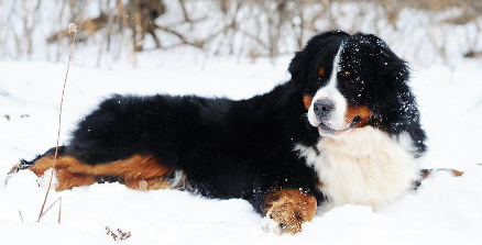 what is a bernedoodle